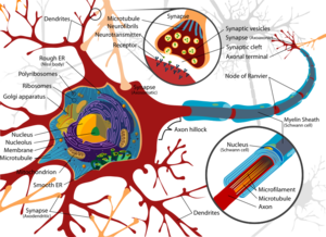 800pxcomplete_neuron_cell_diagram_e
